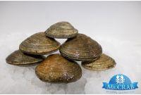 Саксидомус моллюск живой, 500 г